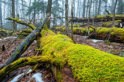 Decaying moss-covered hemlock tree on ground in Appalachian forest, North Carolina near Blue Ridge Parkway, moody foggy woods, winter