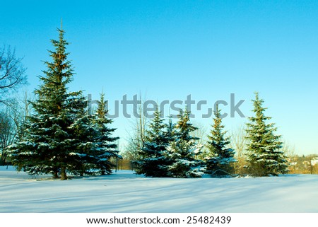 december fir trees covered with snow on blue sky