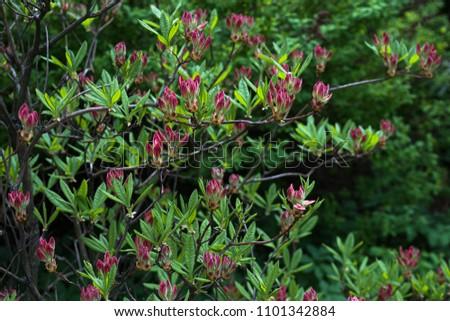 Deciduous deciduous shrub is rhododendron japonicum #1101342884