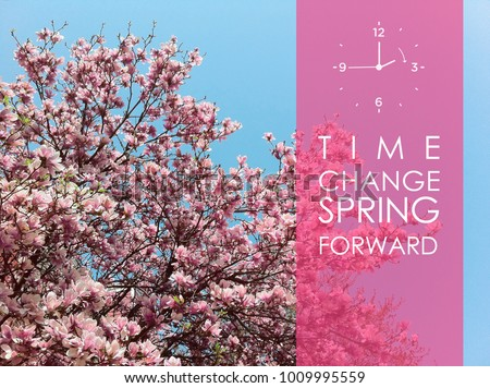 Deciduous magnolia tree with saucer tulip shaped flowers in full bloom during spring against clear blue sky, spring time clock forward with text transparent pink screen on the right side