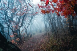 Deciduous maple trees with pathway of natural tunnel and blue fog in autumn forest