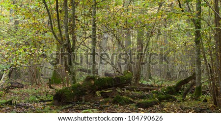 Deciduous natural stand of Bialowieza Forest in mist with broken oak tree in foreground