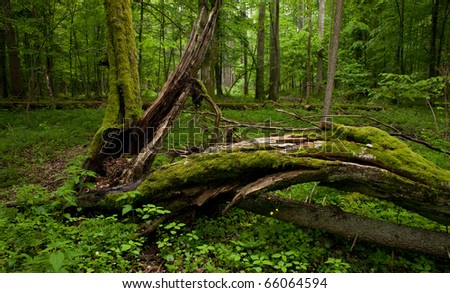Deciduous stand of Bialowieza Forest in springtime with partly dead broken hornbeam in foreground