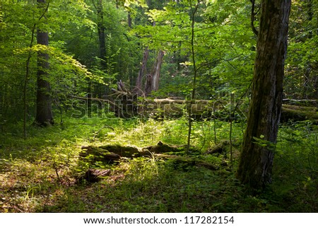 Deciduous stand of Bialowieza Forest in summer with broken trees in background partly declined