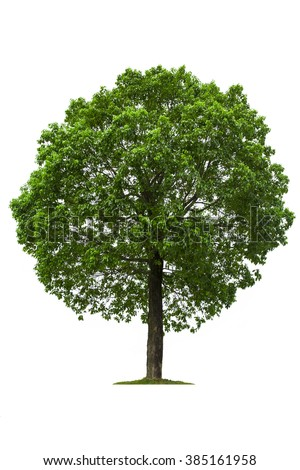 Deciduous tree, isolated on white background.