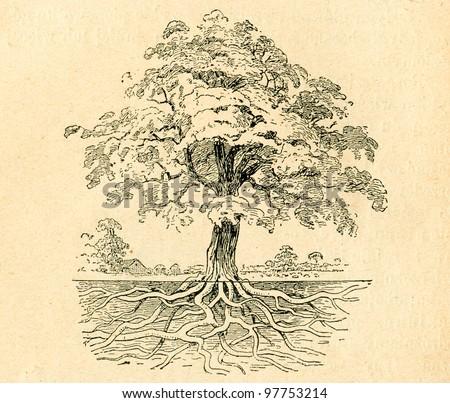 Deciduous tree- old illustration by unknown artist from Podrecznik do nauki Botaniki, authors M.Arctowna and W Grzegorzewska, editor M.Arcta, Warsaw, 1907