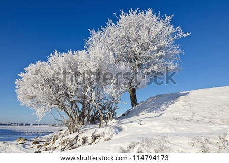 Deciduous tree on a hill with frost in winter landscape