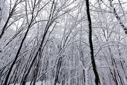 deciduous trees in winter, cold frosty winter weather in nature after snowfall, deciduous trees of different breeds after snowfall in the park