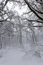 deciduous trees without leaves in the snow after blizzards and snowfalls, natural phenomena in the winter season with plants and trees without leaves