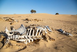 Decomposed abused legs tied camel bones in dry Arabian desert with clear skies