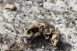 Decomposing corpse of a grey rat lying on ground in dirty street, downtown Port Louis, Mauritius.