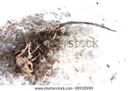Field Mouse Life Cycle http://www.shutterstock.com/pic-88928989/stock-photo-decomposing-life-cycle-of-a-grey-field-mouse-mus-musculus-day.html