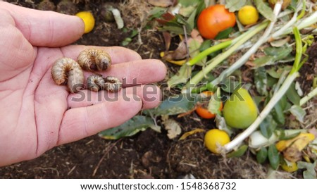 Decomposition - A Gardener Holds Four Cutworms Found In His Compost Pile That Help Breakdown The Various Waste Materials.