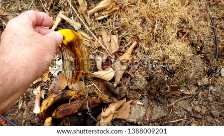 Decomposition - Gardner's Hand Is Shown Recycling A Banana Peel As He Places It In A Compost Pile. A Small Black Waterline Is Seen Running Under The Leaves And Through The Mulch.