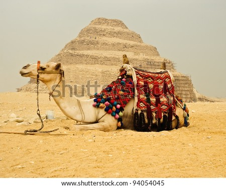 Decorated camel in front of pyramid ,Egypt