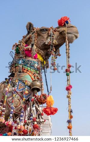 Decorated head of a camel in desert Thar during Pushkar Camel Fair, Pushkar Camel Mela in Rajasthan, India. Close up