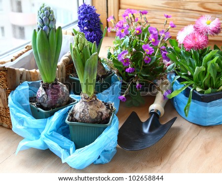 Decoration of balcony hyacinths and primrose Spring flowers on pot