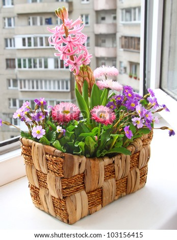 Decoration of balcony hyacinths bellis and primrose Spring flowers on basket