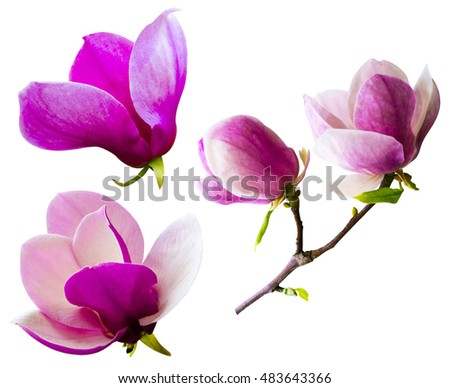 decoration of few magnolia flowers. pink magnolia flower isolated on white background. Magnolia. Magnolia flower. Magnolia flower, spring branch isolated on white, clipping path included.