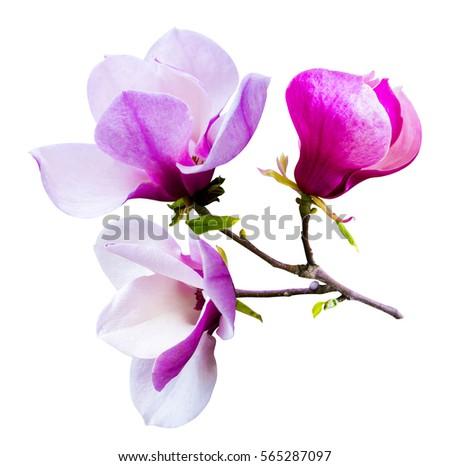 decoration of few magnolia flowers. pink magnolia flower isolated on white background. Magnolia. Magnolia flower