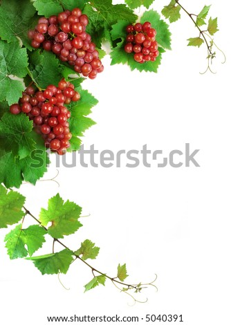 Decoration of grapevine with grape clusters, isolated
