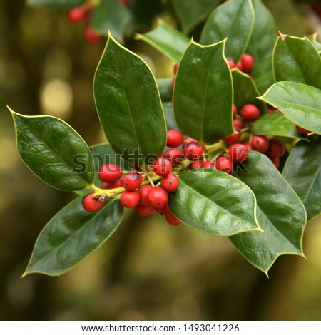 Decoration of hollies, berries. Freshly cut holly branch as holiday decor with defocused christmas tree and lights in background. Macro with shallow dof.
