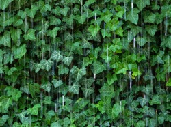 Decorative and transparent water curtain or screen and natural sculpture in front of dense bright lush green ivy in motion blur. motion blurred water drops. urban scene.