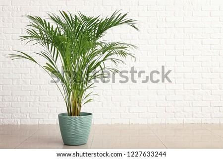 Decorative Areca palm near white brick wall #1227633244