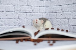 Decorative black and white rat is engaged in self-education and reads a book about coffee. Coffee beans are scattered nearby. Rat close up.