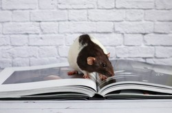 Decorative black and white rat is engaged in self-education and reads a book.  Rat close up.