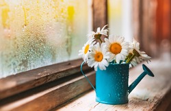 Decorative blue watering can vase with wildflowers white daisies on the village wet window in the drops after the summer rain in spring. Atmospheric lyrical romantic greeting card.