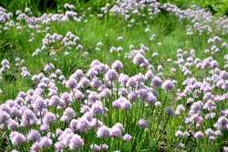 Decorative bow. Allium schoenoprasum. Perennial herbaceous plant. Beautiful flower abstract background of nature. Summer landscape. Floriculture, home flower bed