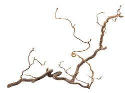 Decorative branch of corkscrew hazel isolated on white