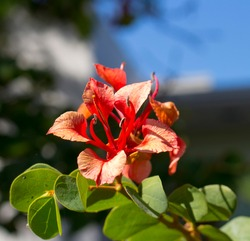Decorative brick red flowers of Bauhinia galpinii Red Orchid Bush with hooved petals  and green leaves flowering in summer adds a touch of exotic tropical splendor to the garden.