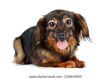Decorative brown dog. Puppy of the Petersburg orchid on a white background