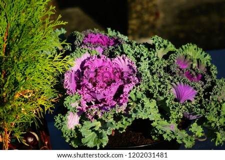 decorative cabbage in a decorative composition #1202031481