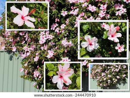 Decorative collage of large pale pink decorative flowers of single hibiscus  species Apple Blossom  growing in a suburban backyard and  spilling over a green metal fence.