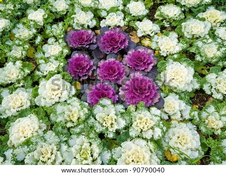 Decorative coloured cabbage can be used as background
