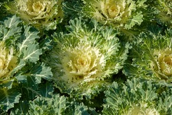 Decorative composition of fresh decorative brassica oleracea, autumn bouquet. Multicolored decorative cabbage in autumn botanical garden.