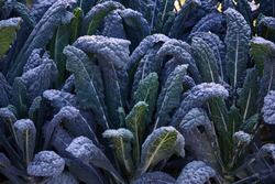 Decorative composition of fresh decorative brassica oleracea, variety Black Magic, autumn bouquet. Multicolored decorative cabbage in autumn botanical garden.