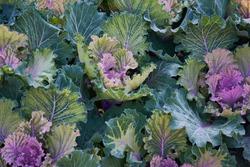Decorative composition of fresh decorative brassica oleracea, variety Candy Floss, autumn bouquet. Multicolored decorative cabbage in autumn botanical garden.