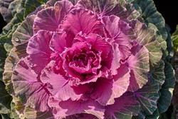 Decorative composition of fresh decorative brassica oleracea, variety Pigeon Red, autumn bouquet. Multicolored decorative cabbage in autumn botanical garden.