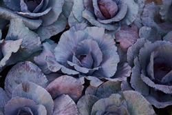 Decorative composition of fresh decorative brassica oleracea, variety Proxima, autumn bouquet. Multicolored decorative cabbage in autumn botanical garden.