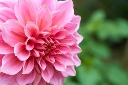 decorative dahlia flower,close up of a decorative pink dahlia in the garden