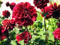 Decorative dark red Dahlia flowers,  'Arabian Night' plant variety