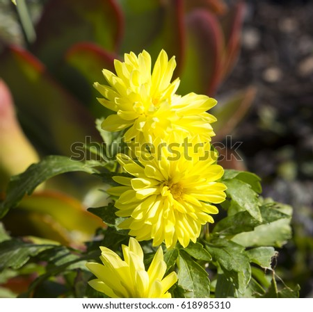 Decorative double canary yellow cactus dahlia a genus of bushy decorative double canary yellow cactus dahlia a genus of bushy tuberous herbaceous perennial plants mightylinksfo