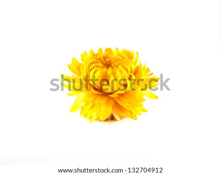 Decorative dried yellow flower. Isolated on white background.