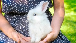 Decorative dwarf rabbit with blue eyes close up. Easter bunny. A cute decorative bunny in the arms of a mistress. Rodent rabbit as a pet in the families with children.