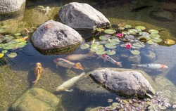 Decorative fish swim in pond with stones. Sunny day