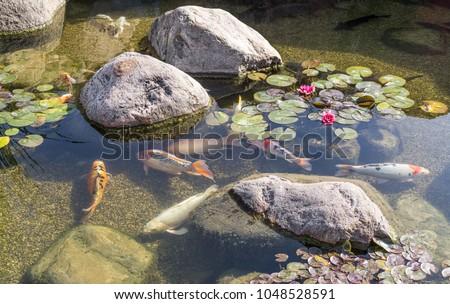 Decorative fish swim in pond with stones. Sunny day